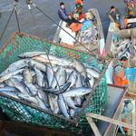 Амур в ожидании летнего лосося. Фото Марии Бабушкиной