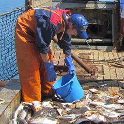Ученые Сахалинского НИИ рыбного хозяйства и океанографии провели траловые съемки у Восточного Сахалина и Южных Курил. Фото пресс-службы СахНИРО