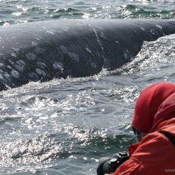 Самка серого кита подплыла к лодке исследователей. Фото пресс-службы ФГБУ «Кроноцкий государственный заповедник»