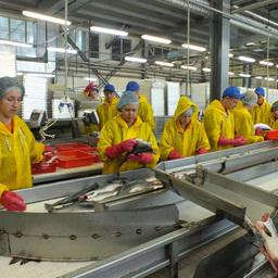 Ученые СахНИРО представили новый сценарий промысла горбуши
