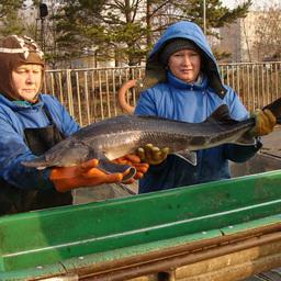 Наука продвинулась в вопросах воспроизводства пресноводных рыб