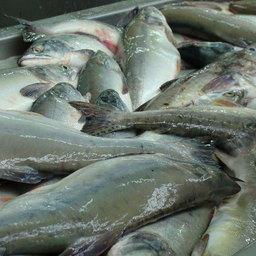 Правительство озвучило решение по «рыбной» госпрограмме