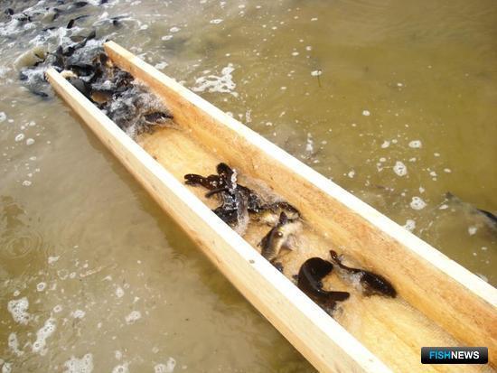 Западная Сибирь готовит будущие уловы. Фото пресс-службы департамента природных ресурсов и охраны окружающей среды Новосибирской области
