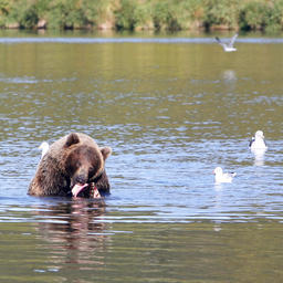 Медвежья рыбалка на Камчатке