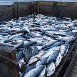 Более 30 млн. рублей принесла в бюджет Мурманской области реализация изъятого у браконьеров улова