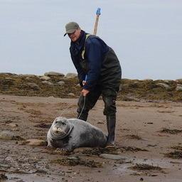 Специалисты Совета по морским млекопитающим успешно провели первое спутниковое мечение морских зайцев в Белом море. Фото пресс-службы СММ.