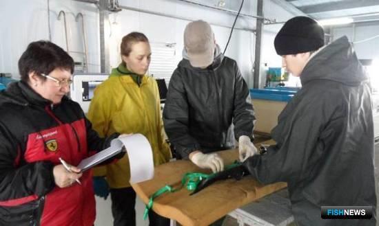 Специалисты провели бонитировку стада сахалинского осетра. Фото пресс-службы Сахалинрыбвода
