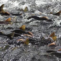Ход лосося на нерест