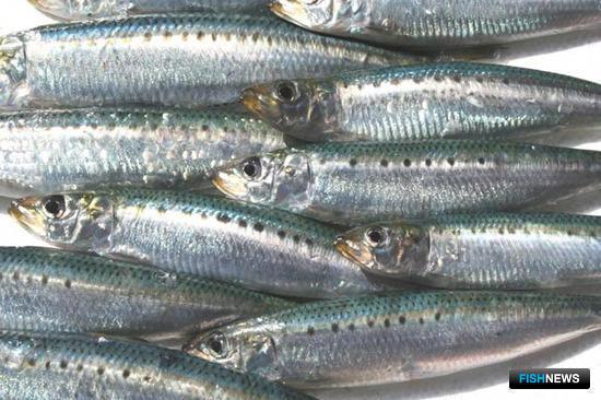 Ученые собирают для рыбаков данные по иваси