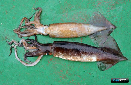 Особи тихоокеанского кальмара на рабочей палубе научно-исследовательского судна СахНИРО. Фотография Андрея Клитина.