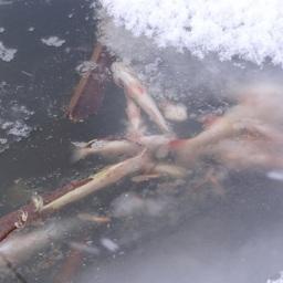 Уснувшая рыба. Фото пресс-службы правительства Новосибирской области