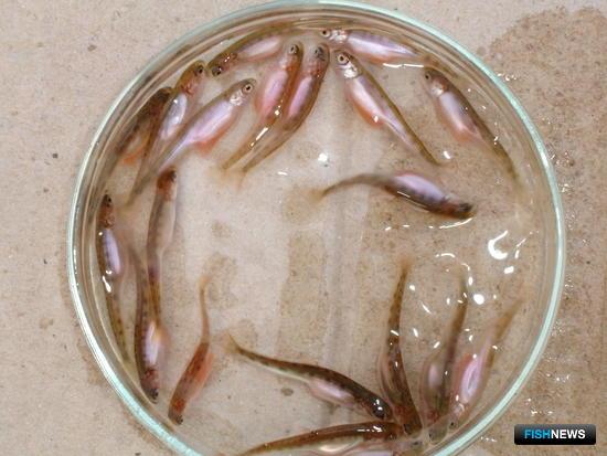 Мальки лосося на рыбоводном заводе