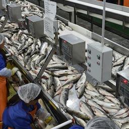 Переработка лосося на рыбозаводе в Хабаровском крае