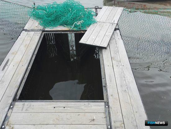 В накопителях забойного пункта на реке Пойма находилось свыше 300 живых лососей, не внесенных в промысловый журнал. Фото пресс-группы Пограничного управления ФСБ России по Приморскому краю