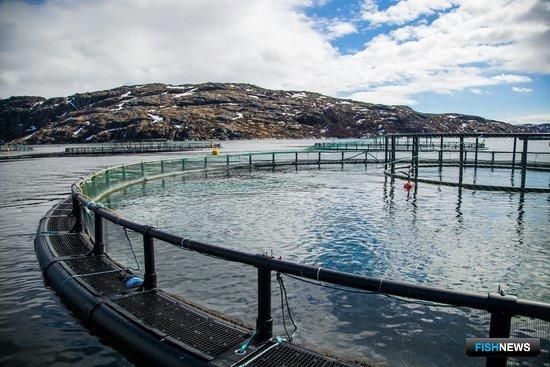 Выращивание атлантического лосося в садках в Мурманской области