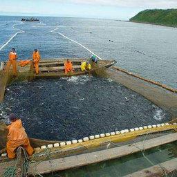 На Сахалине утвержден Порядок организации промысла тихоокеанских лососей в путину-2007