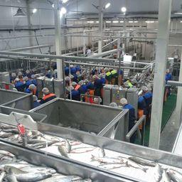 В Хабаровском крае открыли самый большой и современный в регионе рыбоперерабатывающий завод мощностью до 350 тонн по сырью в сутки. Фото предоставлено компанией «Технологическое оборудование»