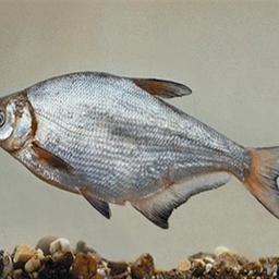 Озерно-речная рыба синец. Фото Harka, Akos, Википедия