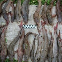 Изъятые осетры. Фото пресс-службы УМВД России по Томской области