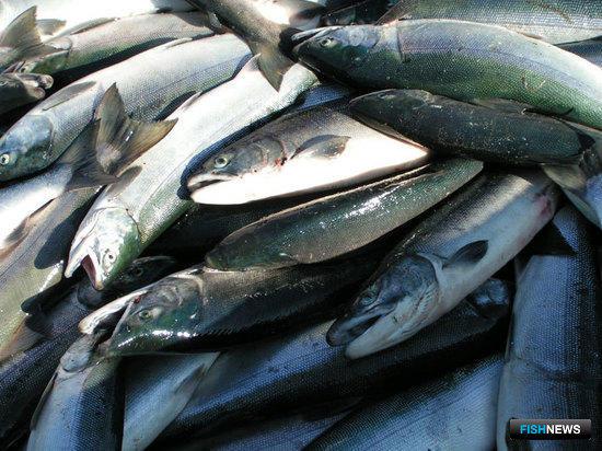 Нет лосося лучше, чем «дикий» дальневосточный