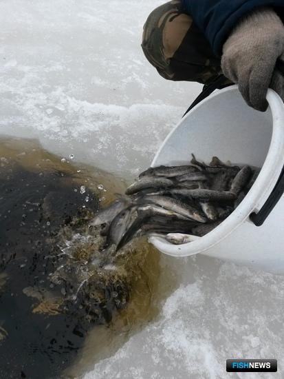 Рыбоводы Поморья перевыполнили задание по выпуску лососевых. Фото пресс-службы Севрыбвода.