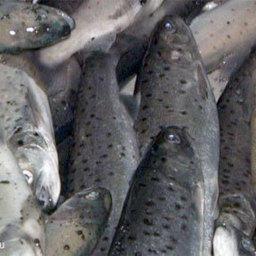 На одном из сочинских лососевых заводов зафиксирован массовый мор рыбы