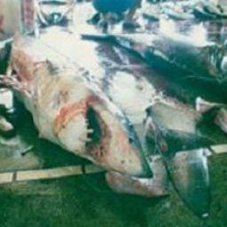 Акула после обрезания плавников. Фото WildAid