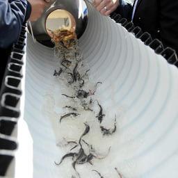 Выпуск стерляди в Иваньковское водохранилище. Фото Ольги Щедровой