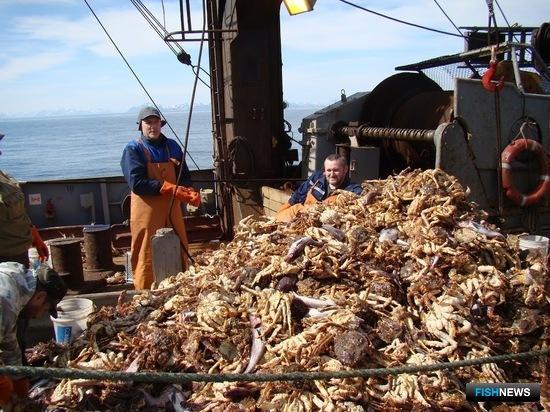 Общая численность промысловых крабов в Беринговом море составила 3,8 млрд. экземпляров при биомассе 266 тыс. тонн. Фото пресс-службы института