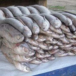 Партия импортной замороженной рыбы. Фото agrobk.ru