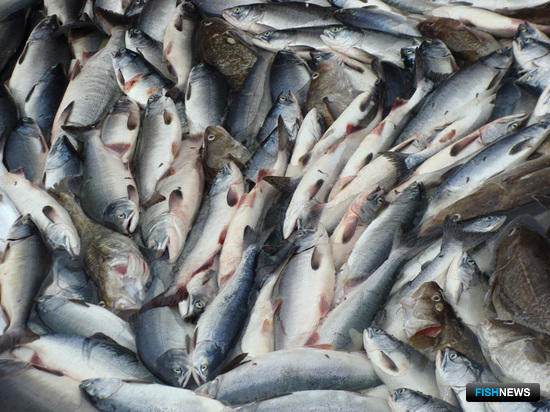 Приемщиков лосося спасут промысловые билеты