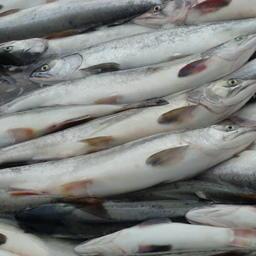 Лососевый улов на Дальнем Востоке