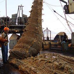 Охотоморье порадует рыбаков минтаем