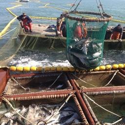 Добыча лосося в Хабаровском крае. Фото регионального комитета рыбного хозяйства