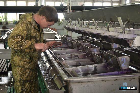 Икринки выдерживаются 5-10 дней в инкубационном аппарате. Фото предоставлено пресс-службой Волго-Каспийского теруправления Росрыболовства.