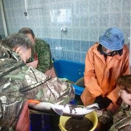 Специалисты ТИНРО-Центра завершили ежегодную нерестовую кампанию на Лучегорской научно-исследовательской станции. Фото пресс-службы института