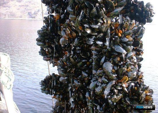 Власти Севастополя собираются разрешить разведение мидий на особо охраняемых природных территориях в Черном море. Фото пресс-центра городского департамента сельского хозяйства