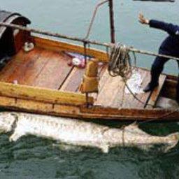 В устье реки Янцзы обнаружен мертвый гигантский осетр