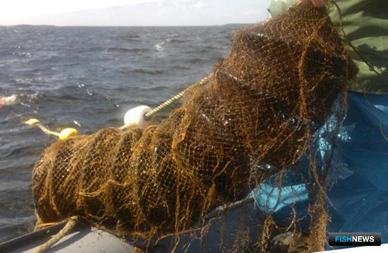 Сахалинский НИИ рыбного хозяйства и океанографии успешно выпустил 1 млн. 10 тыс. 300 экземпляров молоди приморского гребешка в залив Анива и лагуну Буссе. Фото пресс-службы института