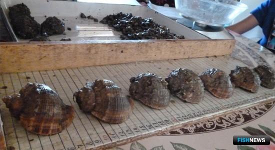 Размерный ряд рапаны. Фото пресс-службы АзНИИРХ