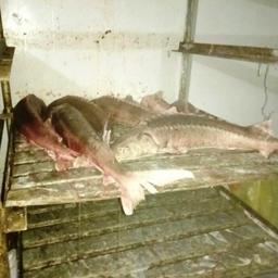 У жителя Октябрьского района ХМАО – Югры изъяли 294 туши незаконно добытого сибирского осетра. Фото пресс-службы регионального УМВД