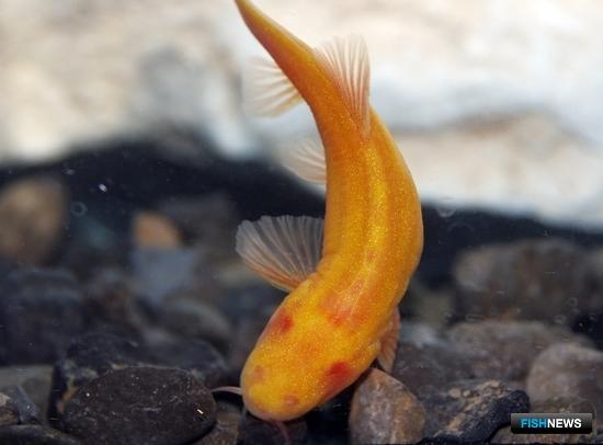 Слепой троглобионтный голец – эндемик Туркменистана и единственный вид слепой рыбы на территории бывшего СССР. Фото пресс-службы ВНИРО