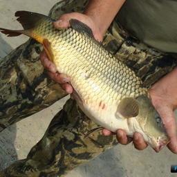 Карп и толстолобик возглавляют топ российской аквакультуры