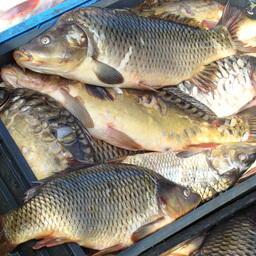 Продукция товарного рыбоводства