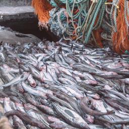 Добыча минтая в Охотском море. Фото РРПК