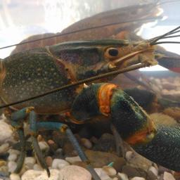 «Астраханский лобстер»: для выставки «Золотая осень» астраханские рыбоводы привезли в Москву партию раков нового урожая