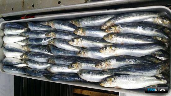 Дальневосточные рыбопромышленники осваивают иваси