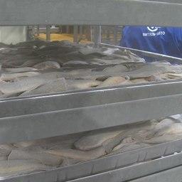 Сейчас на заводах обрабатывают белорыбицу. Фото пресс-службы правительства Камчатки