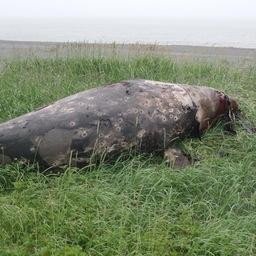 Мертвый кит был найден в районе поселка Усть-Камчатск. Фото предоставлено пресс-службой правительства Камчатского края.