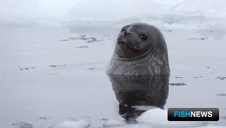 Гренландский тюлень. Фото пресс-службы ПИНРО